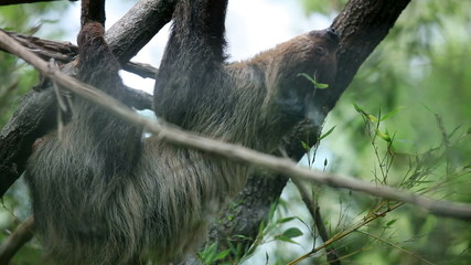 Sloth slowly climibng on tree branches