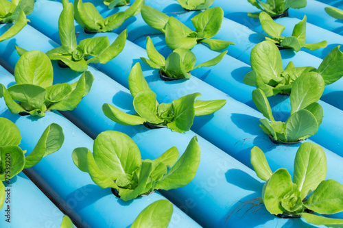 Leinwandbild Motiv Hydroponics Vegetable Farm