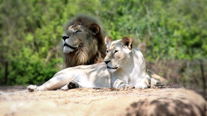 Lion and lioness lying and watching