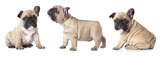 French bulldogs puppies - 77541400