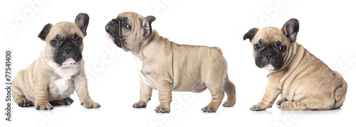 Fototapeten Hunde French bulldogs puppies