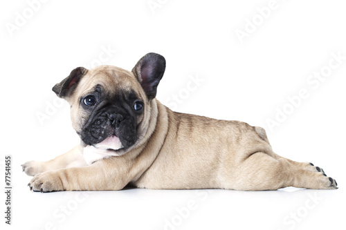 Fotografiet French bulldog puppy lying on white background