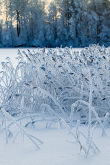 Reed plants in the frost on winter lake in forest