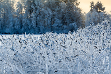 Close-up view of reed in white frost at winter lake shore