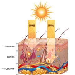 UVB and UVA radiation penetrate  into skin. Detailed anatomy