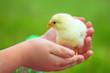Little beautiful chicken on hands