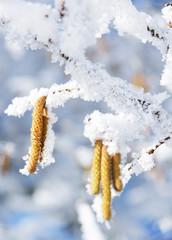 Haselkätzchen mit Rauhreif und Schnee