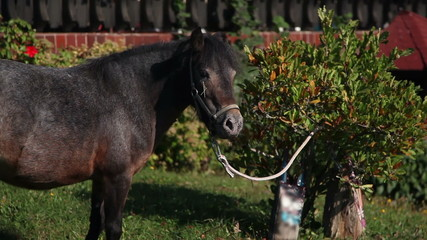 HD1080p: Pony horse tied to a bush while eating grass