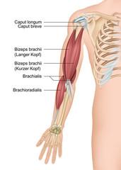 Anatomie Arm, Bizeps brachii