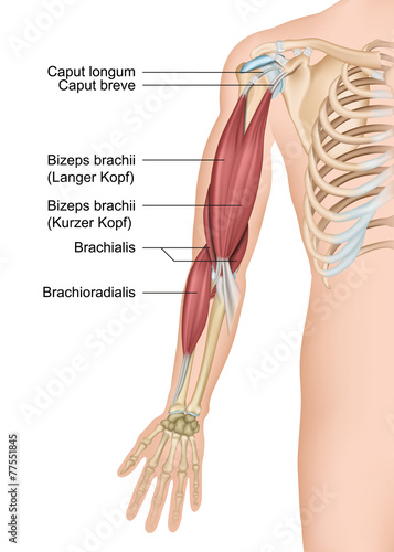 GamesAgeddon - Anatomie Arm, Bizeps brachii - Lizenzfreie Fotos ...