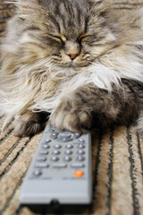 cat with a remote control to TV