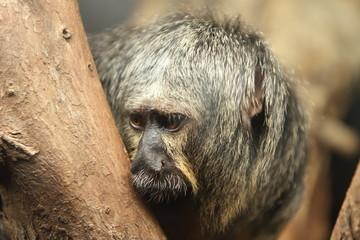 White faced saki monkey Pithecia pithecia