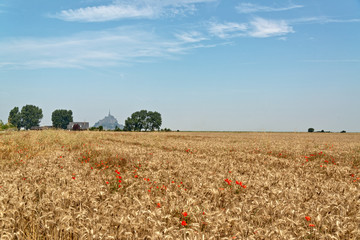 Wheat field in Normandy France with red poppies
