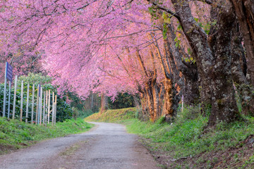 Walkway with pink cherry blossom (Sakura)