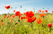canvas print picture - summer blooming poppy field