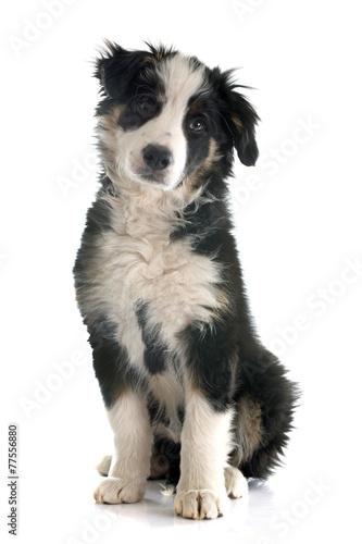 canvas print picture puppy border collie