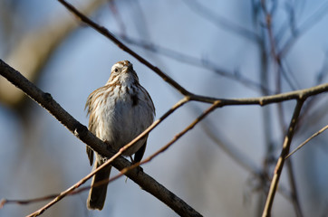 Song Sparrow Perched on a Branch in a Tree