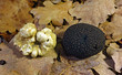 white and black perigord truffles