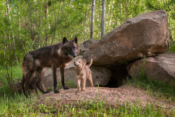 Mother Black Wolf (Canis lupus) Being Looked at by Pup