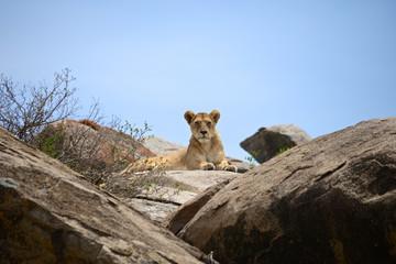 Lioness posing on top of a big rock - Serengeti safari