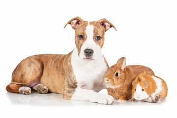 American staffordshire terrier puppy with rabbit and guinea pig