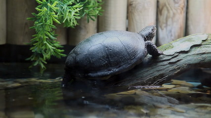 Turtle resting in a tree, above the water in captivity in zoo.