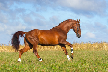 Beautiful red stallion running on the meadow
