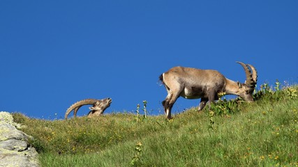 Two alpine ibex grazing on a mountain meadow