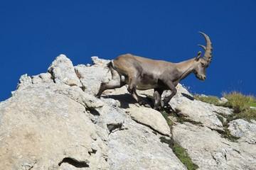 Climbing alpine ibex