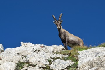 Young male alpine ibex looking down