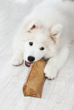 Playful Samoyed dog with firewood on background