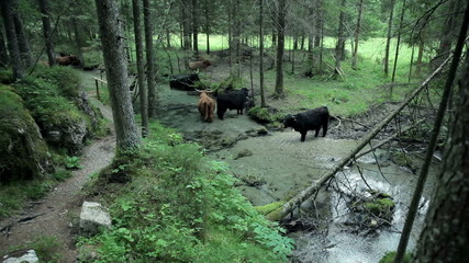 Wide shot of a group of bulls refreshing in river in nature
