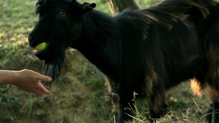 Close up of goat on the pasture