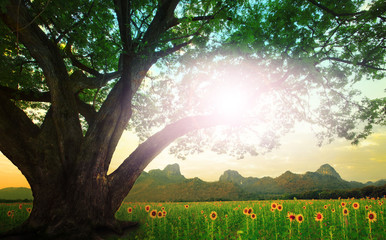 rain tree and sun shining on the sky with sunflowers field backg