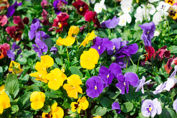 beautiful Purple and yellow flowers in the garden