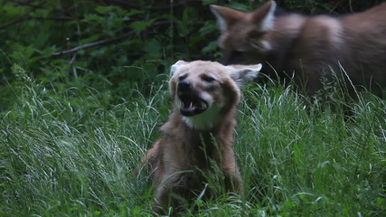 Shot of two foxes where is one chewing and other walking around
