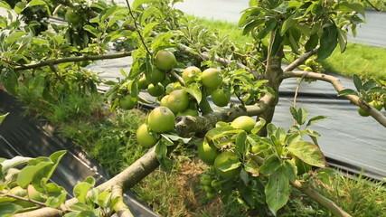 Full Granny Smith Apple Tree dolly shot