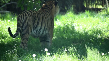Tiger walking and looking around
