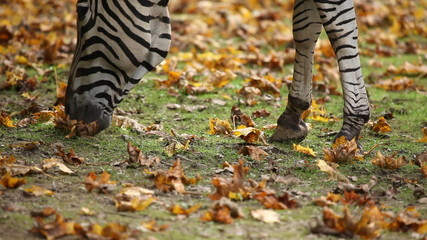 Close up shot of zebra eating grass in captivity in a zoo.
