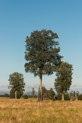 solitary podocarpus trees