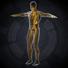 3d render illustration of the male lymphatic system