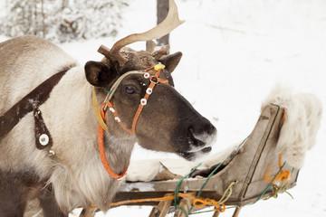 Horned deer   in the winter forest.