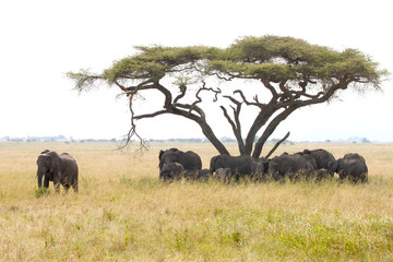 Herd of elephants under a wattle with male guarding