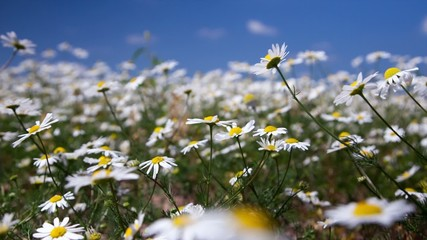 daisy flowers on summer meadow, time lapse