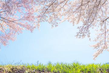 満開の桜と青空と土手
