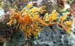 Leafy Seadragon - 77600014