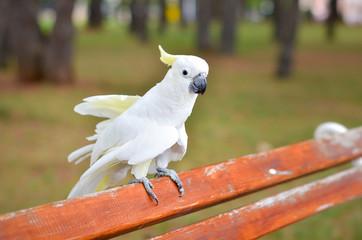 White Parrot - Sulphur-crested cockatoo - Cacatua galerita on a