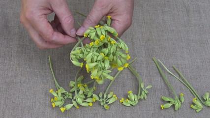 herbalist put fresh spring  cowslip medical flowers on table