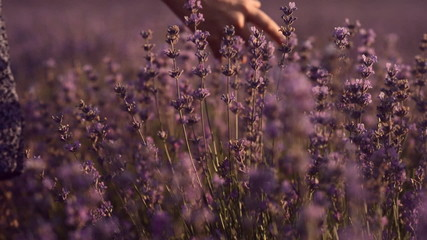Close up of girl's hand that touches blossoming lavender