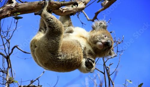 Fotobehang Koala Koala hanging